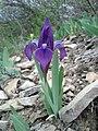 Iris pumila sl7.jpg