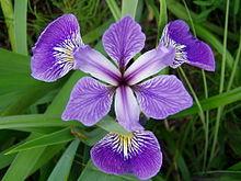 Iris Genre Vegetal Wikipedia
