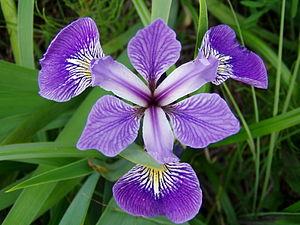 iris gènere viquipèdia l enciclopèdia lliure