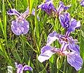 Iris versicolor au parc national du Bic.jpg