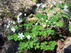 Isopyrum thalictroides a2.jpg