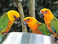 JENDAY CONURE with SUN CONURES LOVELY PARAKEETS.jpg