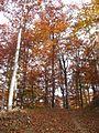 Jablanik - zapadna Srbija - mesto Debelo brdo - Na putu ka vrhu Jablanika - Bukova šuma u jesen 5.jpg