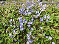 Jacquemontia pentantha-1-bangalore-India.jpg
