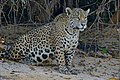 Jaguar (Panthera onca) female on the river bank ... (27827336502).jpg