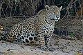 Jaguar (Panthera onca) female on the river bank ... (27827336502).jpg
