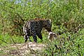 Jaguar (Panthera onca) male meeting a young female (right) ... (29174556975).jpg