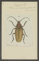 Jalyssus - Print - Iconographia Zoologica - Special Collections University of Amsterdam - UBAINV0274 032 04 0037.tif