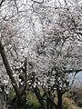Japanese Cherry Blossom -桜- (3430424981).jpg
