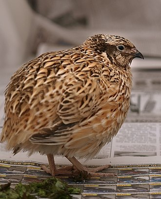 Japanese quail - Golden speckled is just one of the many names for this color type of Coturnix japonica