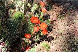 Jardin Botanico de Altura - Echinopsis glauca.jpg