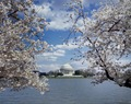 Jefferson memorial cherry blossoms 12500a.tif