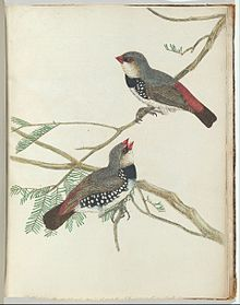 John Lewin - Spotted grossbeak.Lewin, John. Birds of New South Wales with their natural history. Sydney- G. Howe,... - Google Art Project.jpg