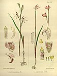 Joseph Dalton Hooker - Flora Antarctica - vol. 3 pt. 2 plate 125 (1860).jpg