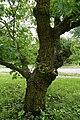 Juglans regia (English Walnut, Persian Walnut) (34796658670).jpg