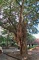 Jumbo Tree.JPG