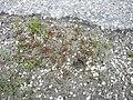 Juncus bufonius plant (06).jpg