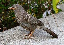 Jungle Babbler 20-Mar-2007 4-40-12 ver2.JPG