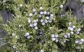Juniper berries - Ardıç tohumları 01.jpg