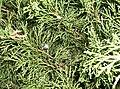 Juniperus sabina.jpg