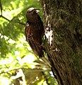 Kaka parrot fledgling.jpg