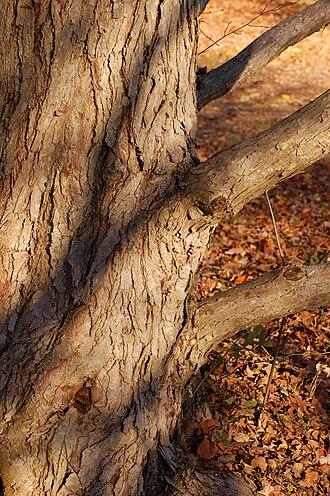 Cercidiphyllum - Image: Katsura Tree Cercidiphyllum japonicum Trunk Bark 2000px