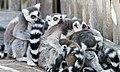 Katta Lemurs.jpg