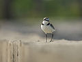 Kentish Plover 7848.jpg
