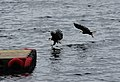 Ketchikan, Alaska - Bald Eagles - panoramio (12).jpg