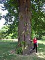 Kew.gardens.sweet.chestnut.london.arp.jpg