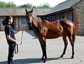 Kheleyf-Baralinka yearling filly (6113716750).jpg