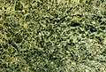 Kimberlite (Picton Kimberlite Dike, Middle Jurassic; Picton Quarry, Prince Edward County, Ontario, Canada) (14843654803).jpg