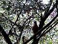 Kinabalu Park, Ranau, Sabah, Malaysia - panoramio (8).jpg