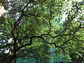 King's College garden green 1 無花果 Fig Tree HK May-2012.JPG