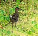 King Rail - Flickr - Andrea Westmoreland.jpg