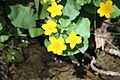 Kingcup - Caltha palustris - panoramio.jpg