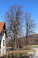 Kirchschlag in der Buckligen Welt - Ungerbach - Naturdenkmal WB-023 - Sommerlinde (Tilia platyphyllos) - III.jpg