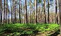 Klavdievo forest.JPG