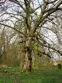 Knotty Tree - geograph.org.uk - 383771.jpg