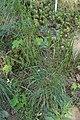 Koeleria macrantha kz04.jpg