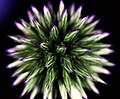 Kogeldistel, Echinops Bannaticus.jpg
