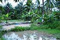 Kolam ikan tradisional (4).JPG