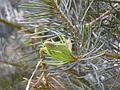 Kornik Arboretum jodla jednobarwna 2.jpg