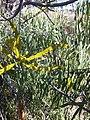 Korthalsella rubra on Wilga.jpg