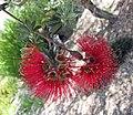 Kunzea pulchella -澳洲國家植物園 Australian National Botanic Gardens, Canberra- (11047433634).jpg