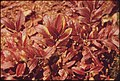 LOW CRANBERRY IN THE ADIRONDACK FOREST PRESERVE - NARA - 554744.jpg
