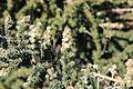 La Palma - Garafía - Carretera Acceso Observatorios + Adenocarpus viscosus 09 ies.jpg