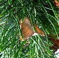 Lackey. Malacosoma neustria - Flickr - gailhampshire (1).jpg