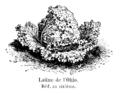 Laitue de l'Ohio Vilmorin-Andrieux 1904.png