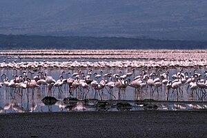 Lake Bogoria - Flamingos nesting on the shoreline of the lake